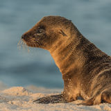 Galapagos Sea Lion (12)
