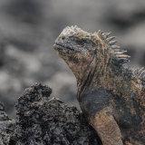 Marine Iguana (1)
