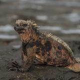 Marine Iguana (3)