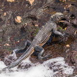 Marine Iguana (5)
