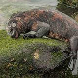 Marine Iguana (8)