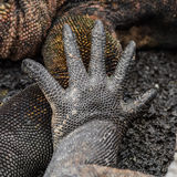 Marine Iguana (14)