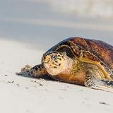 Hawksbill Turtle (3)