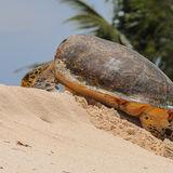 Hawksbill Turtle (4)