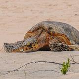 Hawksbill Turtle (5)