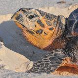 Hawksbill Turtle (6)