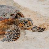 Hawksbill Turtle (7)