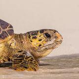 Hawksbill Turtle (11)