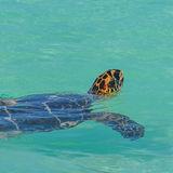 Hawksbill Turtle (12)