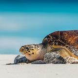Hawksbill Turtle (13)