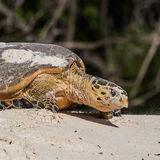 Hawksbill Turtle (14)