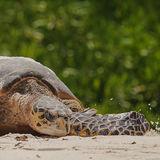 Hawksbill Turtle (15)