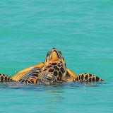 Hawksbill Turtle (16)