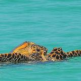 Hawksbill Turtle (17)