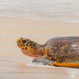 Hawksbill Turtle (18)