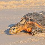 Hawksbill Turtle (19)