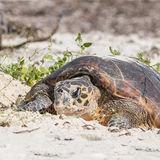 Hawksbill Turtle (20)