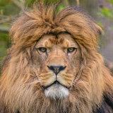 Barbary (Atlas) Lion
