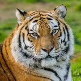 Amur (Siberian) Tiger
