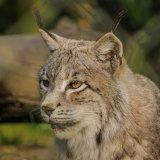 Eurasian (Northern) Lynx