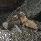 Galapagos Fur Seals