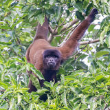 Peruvian Woolly Monkey
