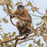 Temminck's Red Colobus