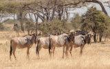 Nyassa Wildebeest