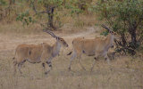 East African Eland