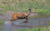 Bushbuck or Imbabala