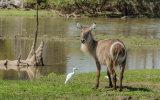 Common Waterbuck