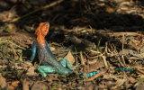 Agama Lizard or Red-headed Agama