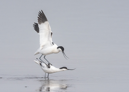 Pied Avocets - Normandy Lagoon, Lymington