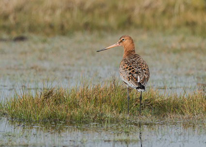 Black-tailed Godwit - Pennington Marsh, Lymington