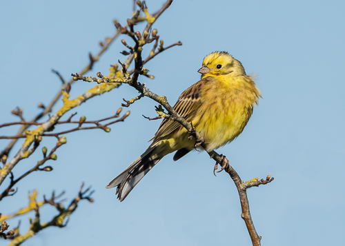 Yellowhammer - Martin Down, Wiltshire