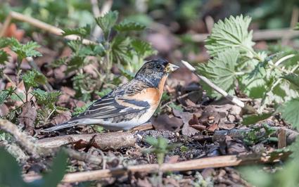 Brambling - Arne Nature Reserve, Wareham