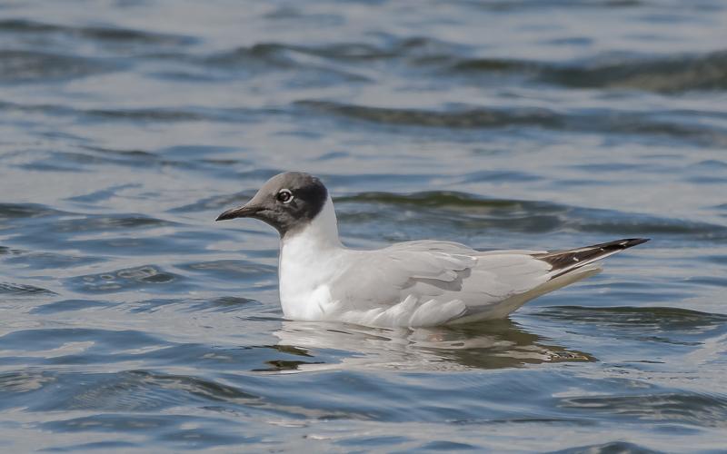 Bonaparte's Gull - Longham Lakes