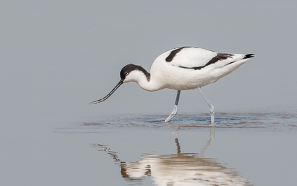 Pied Avocet - Normandy Lagoon, Lymington