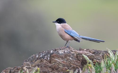 Iberian Azure-winged Magpie - Adamuz, Córdoba