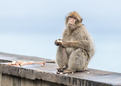 Barbary Ape - Upper Rock Reserve, Gibraltar