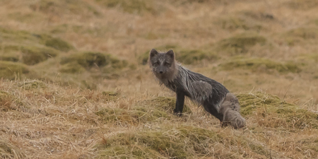 Arctic Fox ~ Laugarás