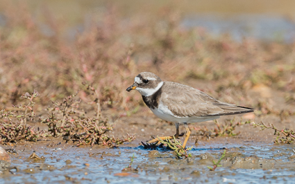 Common Ringed Plover - Keyhaven