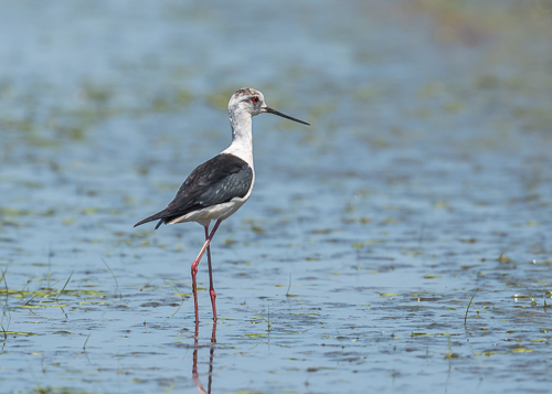 Black-winged Stilt ~ Madrigalejo rice fields