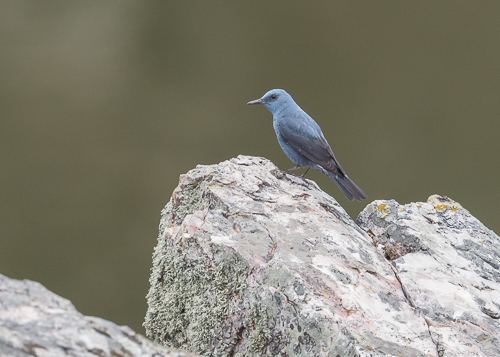 Blue Rock-Thrush ~ Monfragüe National Park