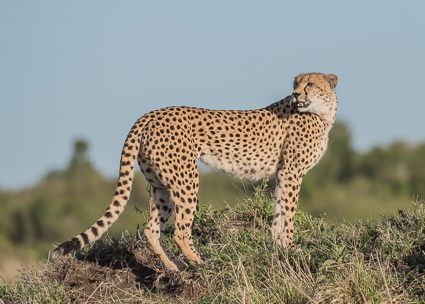 Malaika - the beautiful female cheetah