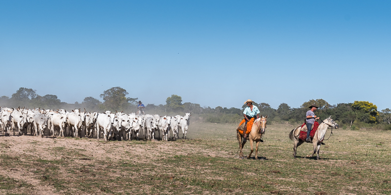 Pantaneiro cowboys driving a large herd of cattle across the dry savanna grasslands