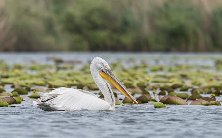 Dalmatian Pelican ~ Lake Merheiu Mic