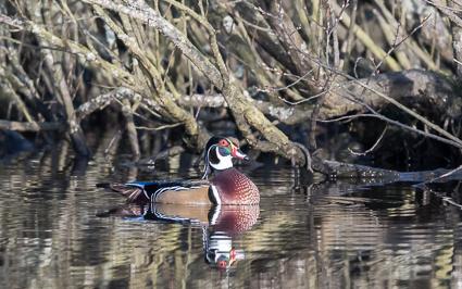 Wood Duck (male) - Eyeworth Pond