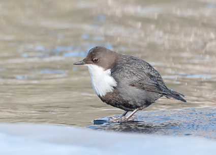 White-throated Dipper on the Kuusinkijoki river
