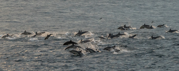 Common Dolphins ~ Punta Vicente Roca, Isabela